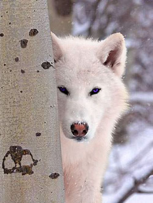 MK-Ultra  EveLorgen com White Wolf Hybrid With Blue Eyes